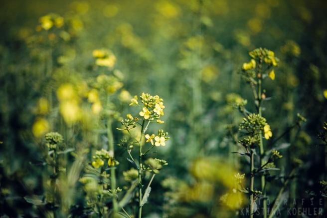 rapeseed. fotografie kristina koehler